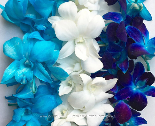 Assortment Loose bloom orchid flowers - TRIO blue