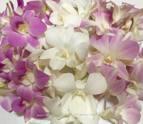 Assortment Loose bloom orchid flowers - TRIO lavender