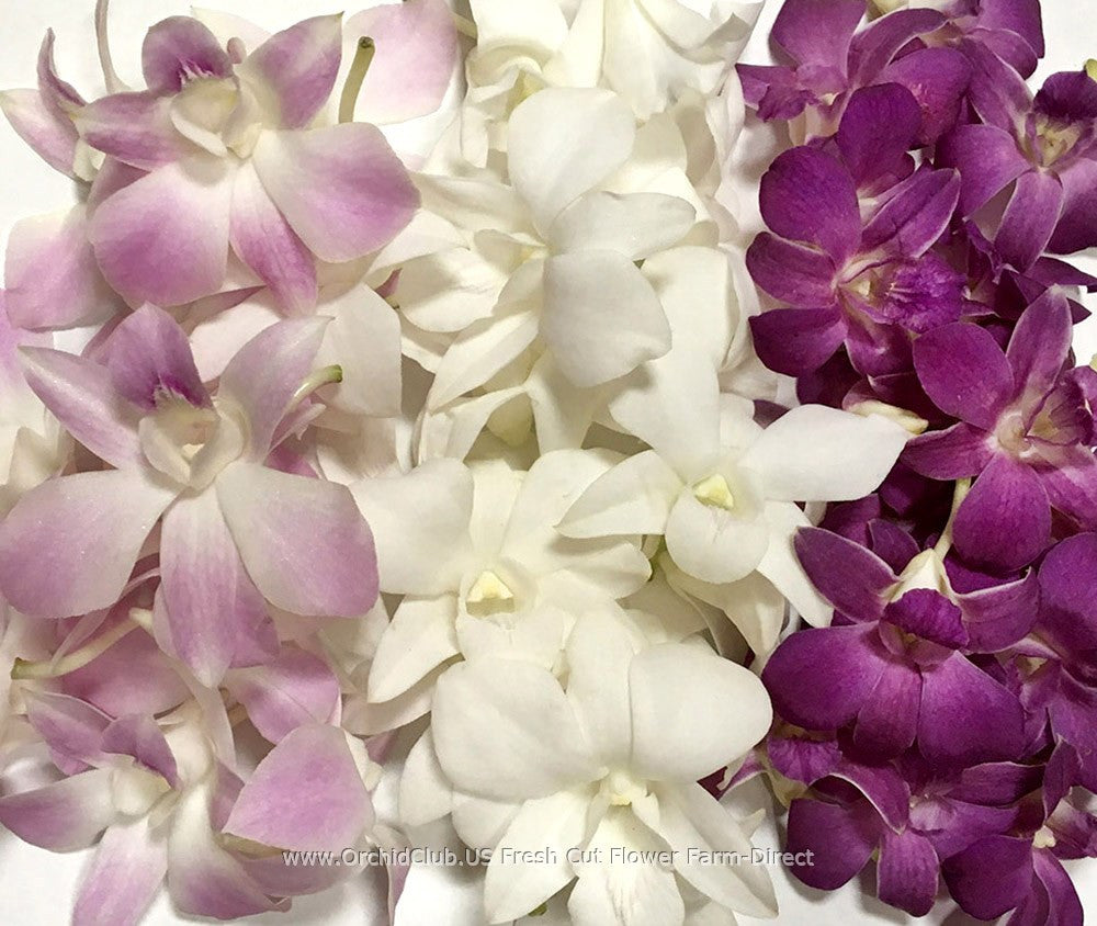 Assortment Loose bloom orchid flowers - TRIO purple blend