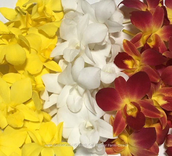 Assortment Loose bloom orchid flowers - TRIO yellow classic