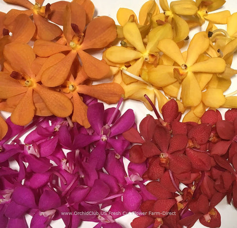 Assortment Loose bloom orchid flowers - 4 colors mokara classic