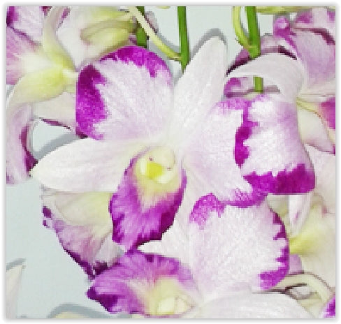 Fresh Cut Orchid Dendrobium King Dragon Novelty Orchid