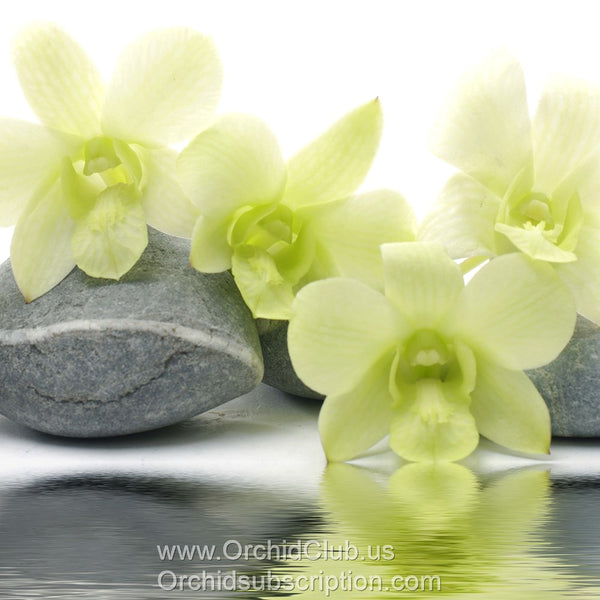 Loose bloom orchid edible flowers - green