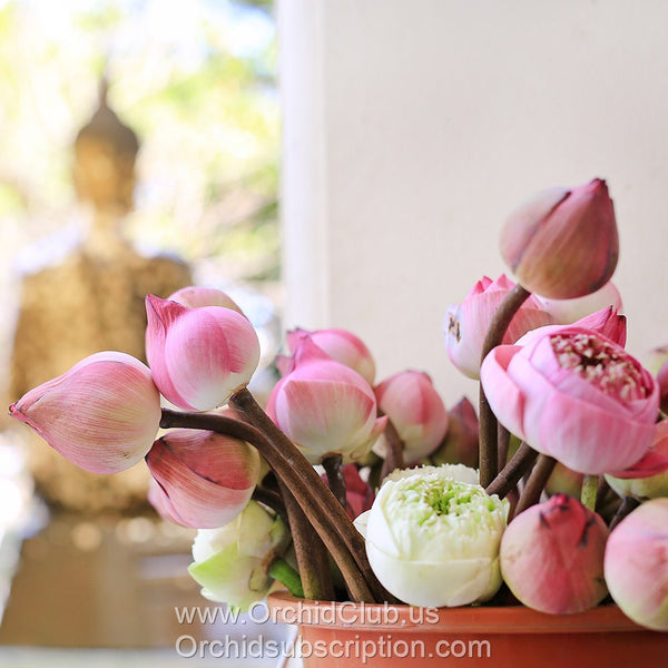 Fresh Cut Flower LOTUS Pink & White - Buddhist