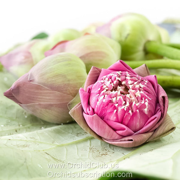 Fresh Cut Flower LOTUS - PINK
