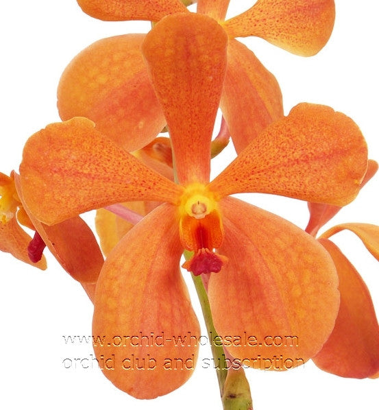 Mokara Orchid Orange Jubkuan