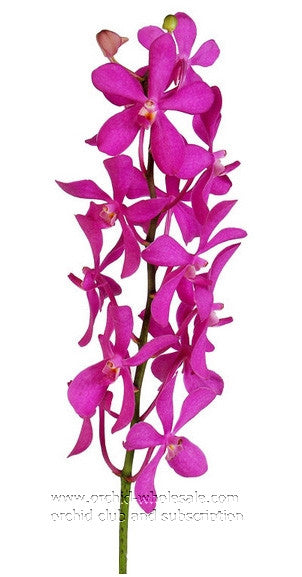 Mokara Orchid Calipso Hot Pink ( Calypso )