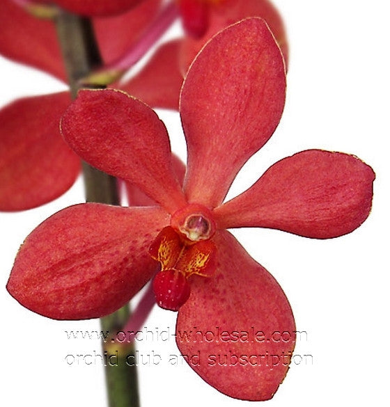 Mokara Orchid Red Chrystal