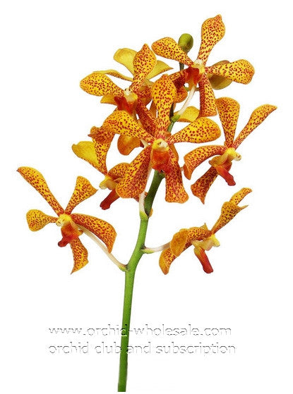 fresh cut mokara orchid, tropical orchid