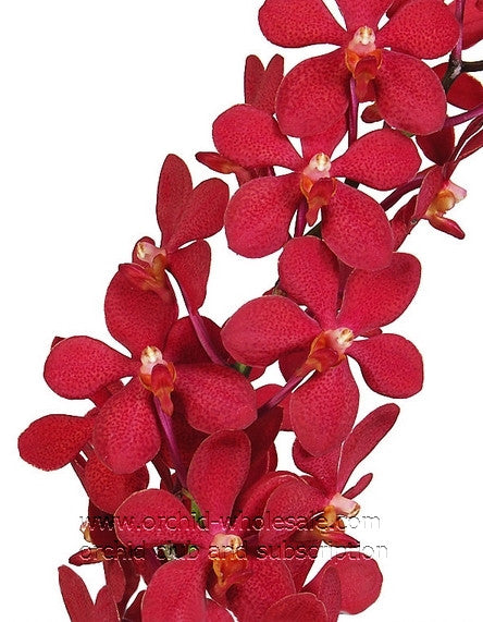 Mokara Orchid Red Ruby