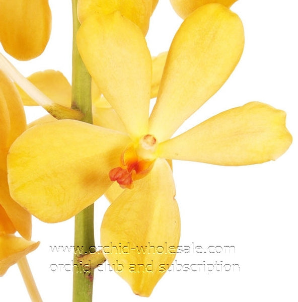 Mokara Orchid Yellow Kitty