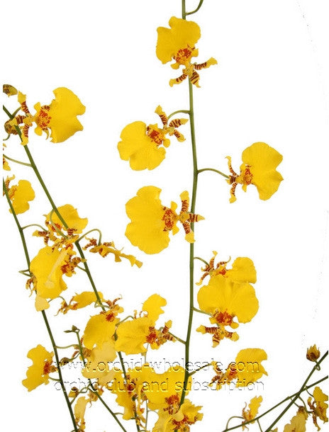 Oncidium Orchid Yellow Golden Shower