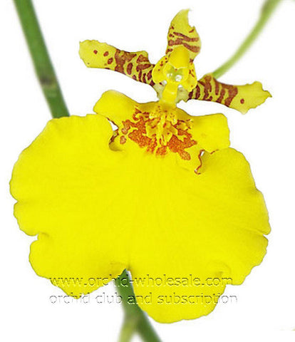 Oncidium Orchid Yellow Golden Ramsay