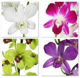 Assortment Dendrobium Orchid Lover ALL Variety (Surprise Pack)