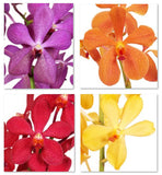 Assortment Mokara Orchid Lover ALL Variety (Surprise Pack)