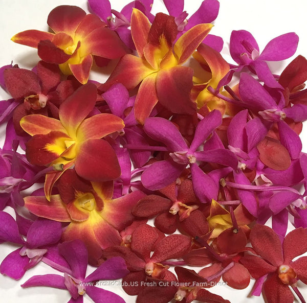 Assortment Loose bloom orchid flowers - TRIO yellow sonia mokara pink red