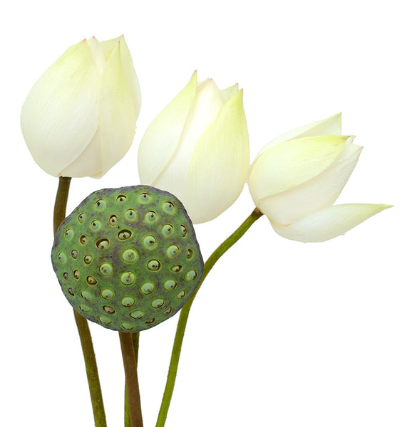 Assortment Lotus (Lotus Pod + White)