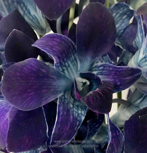 Fresh Cut Orchid Dendrobium Dyed Sonia Cobalt BLUE