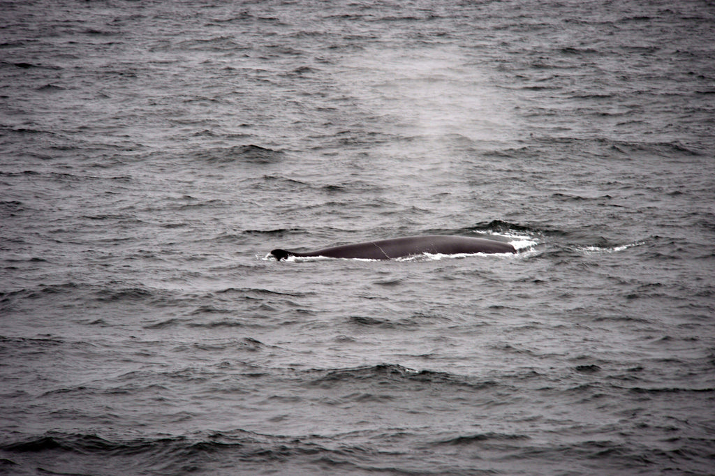 Whales in the Arctic. Cruising up the coast of Norway part 4 for Resolute Boutique.