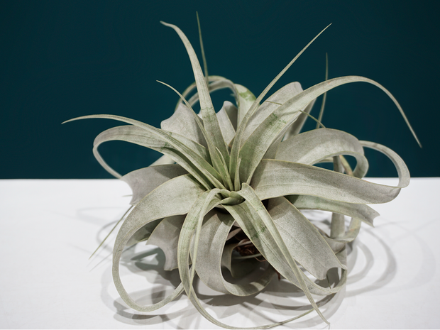 AIR PLANT / Tillandsia /