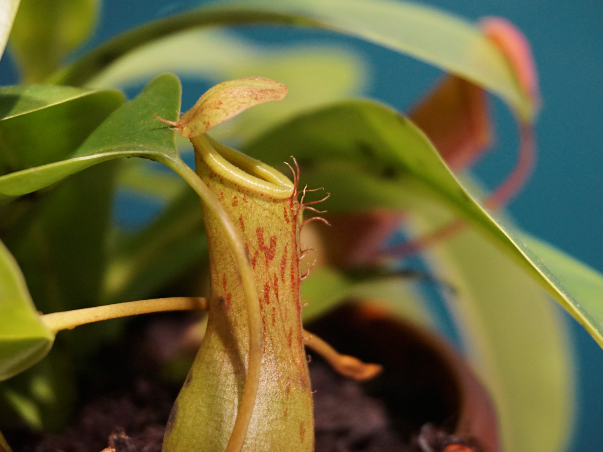 TROPICAL PITCHER PLANT / Nepenthes /