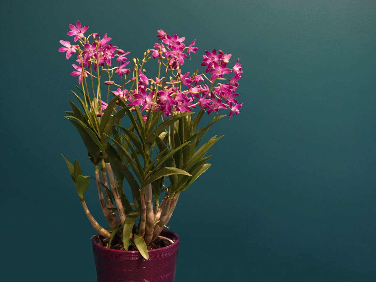 ORCHID / Dendrobium Berry Oda /