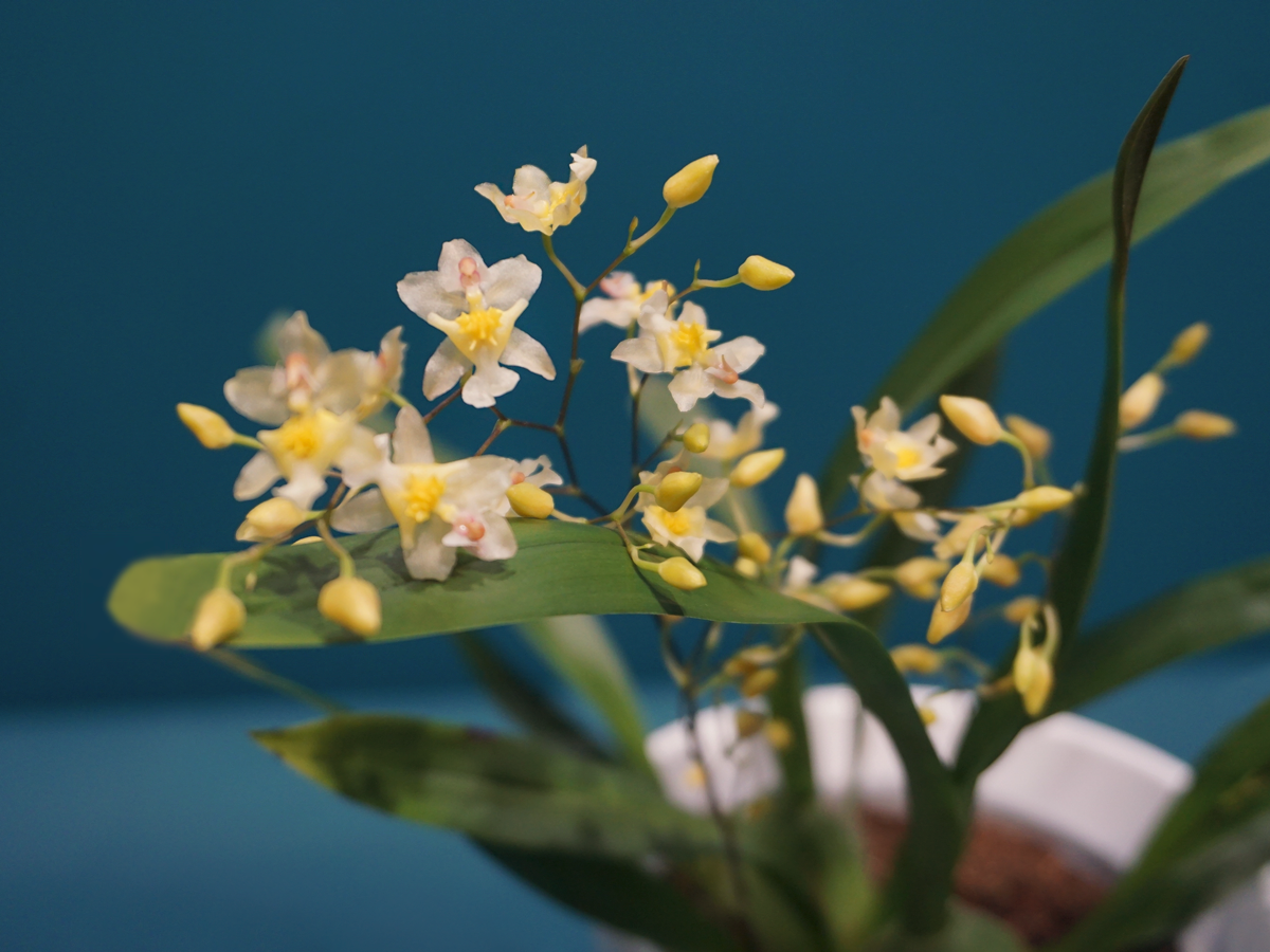 ORCHID / Oncidium Orchid /