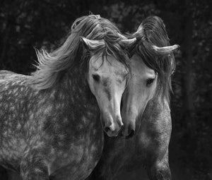 black and white photograph of two nuzzling horses