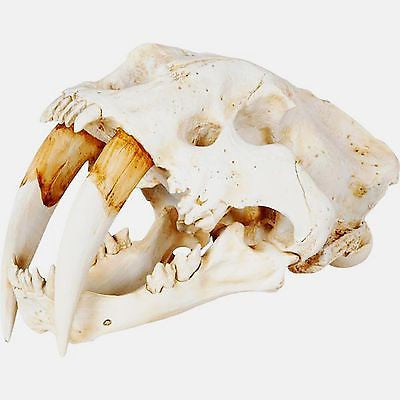 Resin Sabertooth Skull Replica Sculpture 15 inches Deep X 9 inches Tall - FineHomeDecor101