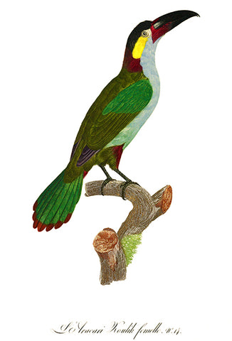 Aracari Koulick Of Guyana - Female - 1806 - Bird Illustration Poster