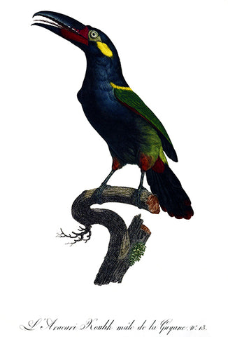 Aracari Koulick Of Guyana - Male - 1806 - Bird Illustration Poster