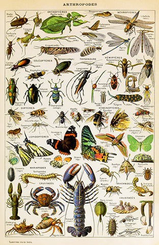 Arthropodes - Insects, Arachnids, Myriapods, Crustaceans Chart - Illustration Poster