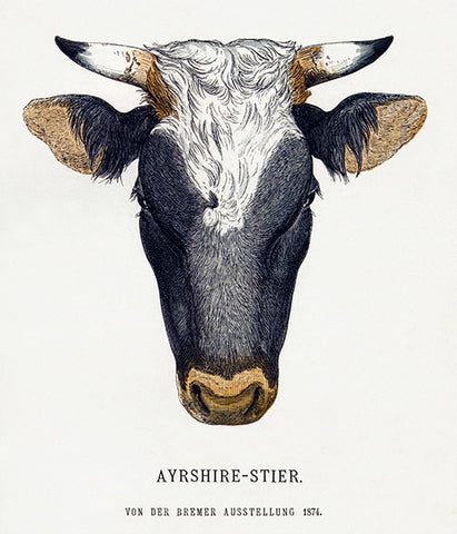Ayrshire - Steer - 1874 - Breeds Of Cattle - Illustration Poster