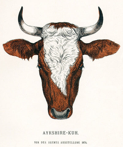 Ayrshire Cow - 1874 - Breeds Of Cattle - Illustration Poster
