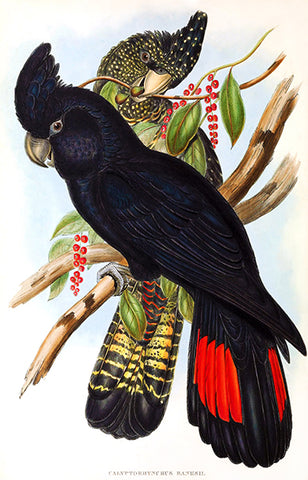 Banksian Cockatoo (Calyptorhynchus Banksii) - 1848 - Bird Illustration Poster