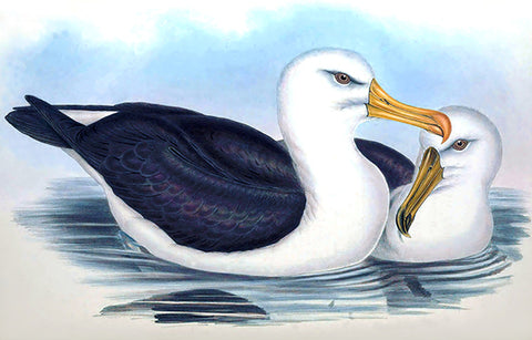 Black-Eyebrowed Albatros (Diomedea Melanophrys) - 1848 - Australia - Bird Illustration Poster