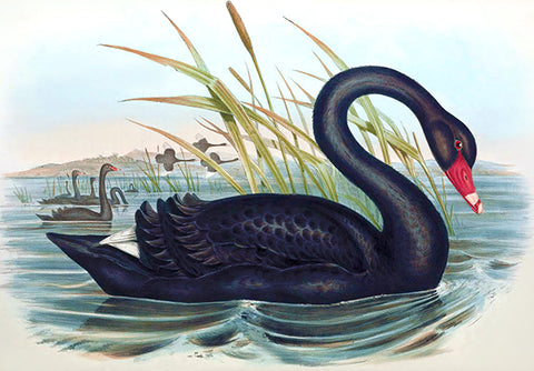 Black Swan (Cygnus Atratus) - 1848 - Australia - Bird Illustration Poster