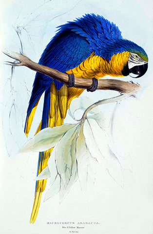Blue And Yellow Maccaw - Macrocercus Ararauna - E. Lear - Bird Illustration Poster