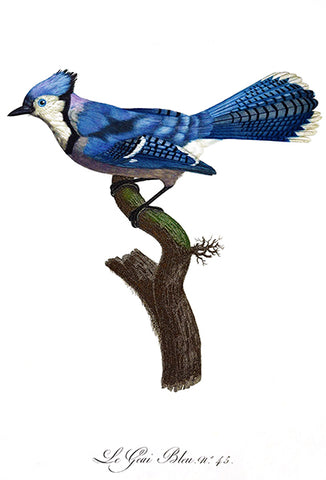 Blue Jay (Le Geai Blue) - 1806 - Bird Illustration Poster