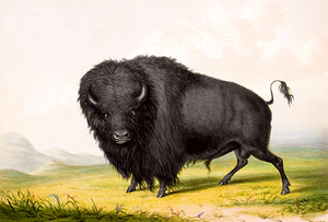 Buffalo - Bison Bull Grazing - 1844 - Illustration Poster