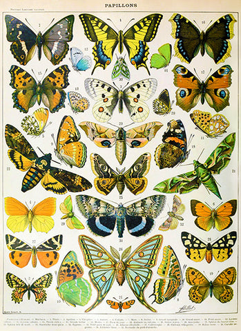 Butterfly - Papillons Chart - Illustration Poster