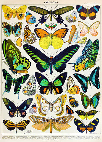 Butterfly - Papillons Chart #2 - Illustration Poster