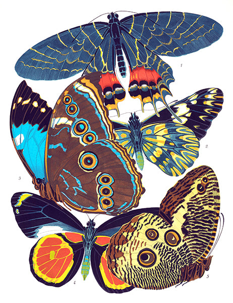 Butterfly Papillons #2 - Insect Illustration Poster