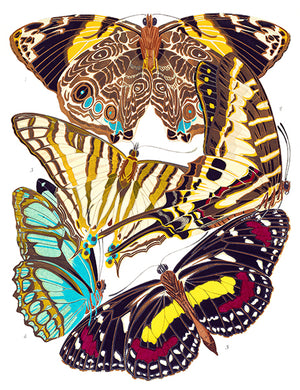 Butterfly Papillons #5 - Insect Illustration Poster