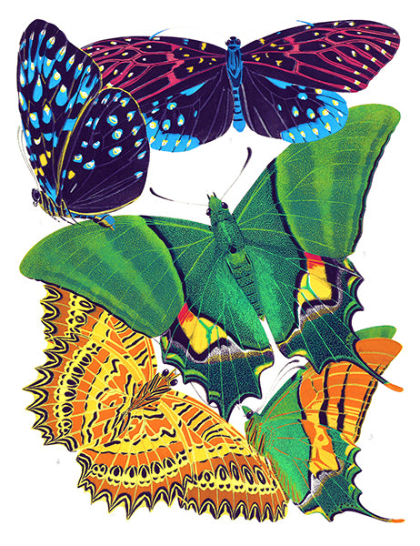 Butterfly Papillons #6 - Insect Illustration Poster