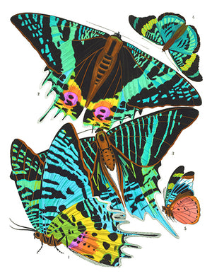 Butterfly Papillons #7 - Insect Illustration Poster