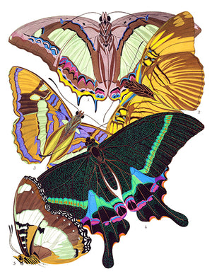 Butterfly Papillons #8 - Insect Illustration Magnet