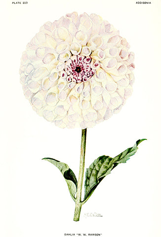 Dahlia - W. W. Rawson - 1921 - Flower Illustration Poster