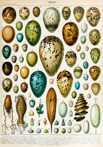 Eggs - Oeufs Chart - Illustration Poster