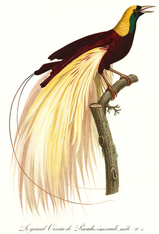 Emperor Bird Of Paradise - Male - 1806 - Bird Illustration Poster